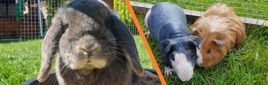 Rabbit & Guinea Pig header